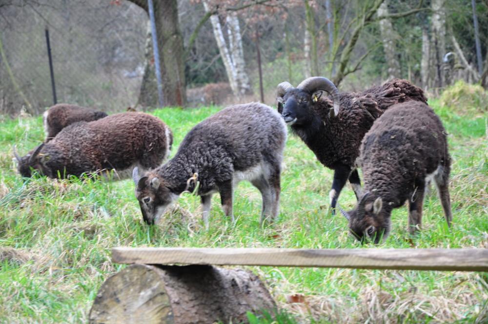 Eine kleine Gruppe Soay Schafe