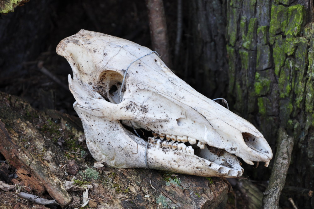 Schädel einer Wildsau