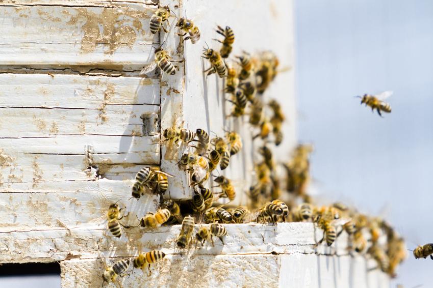 Bienen am Flugloch eines Bienenhauses.
