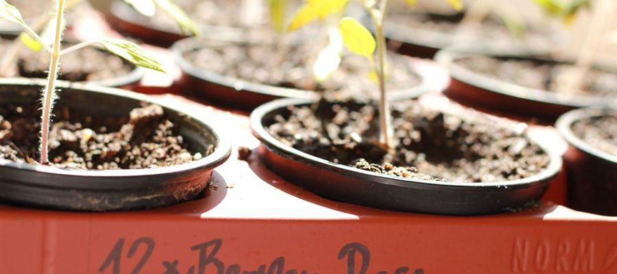 Topfpalette mit jungen Tomatenpflanzen
